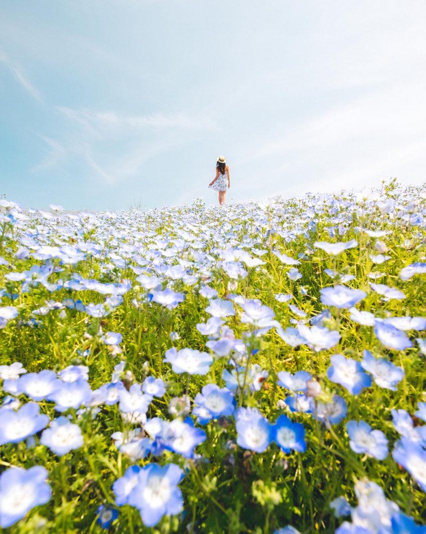 Blue Nemophila Flowers  - Hitachi Seaside Park