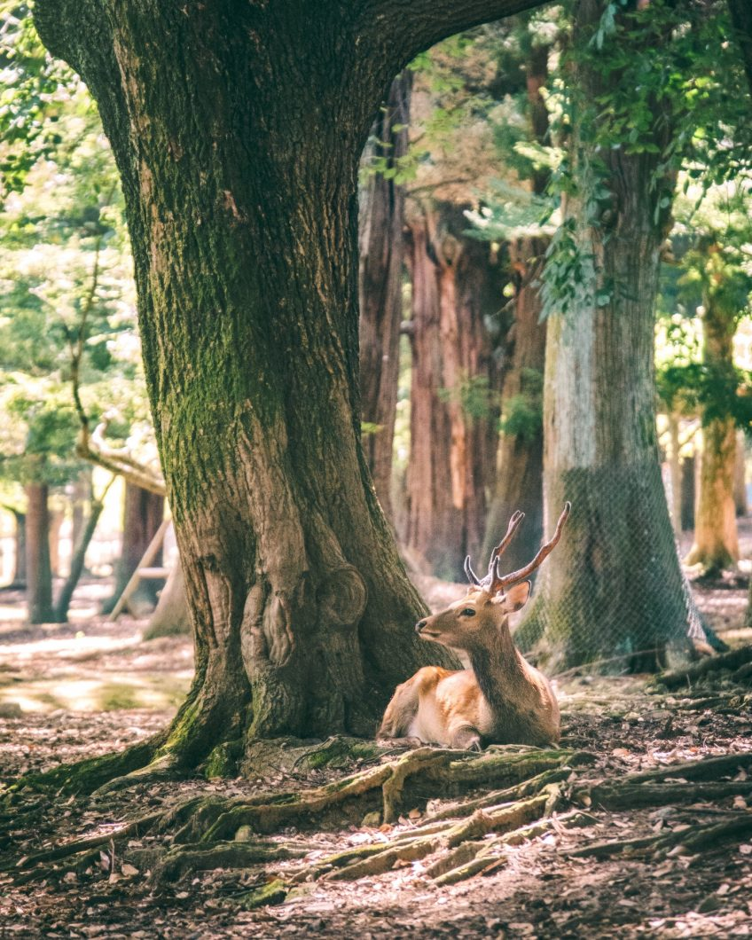 Deer Basking Sunlight - Nara, Japan